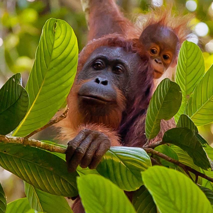 Win An 8 Day Orangutan Expedition In Borneo
