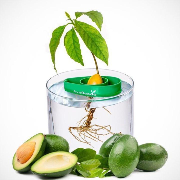 Win a AvoSeedo Avocado Tree Growing Kit